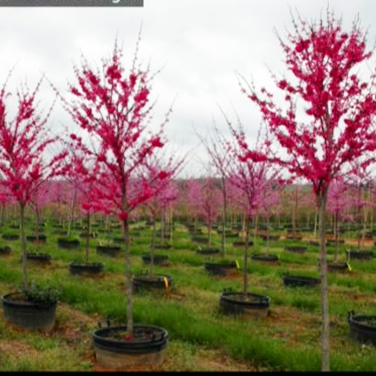 Cercis Canadensis 'Appalachia Red' (Appalachia Red Redbud)