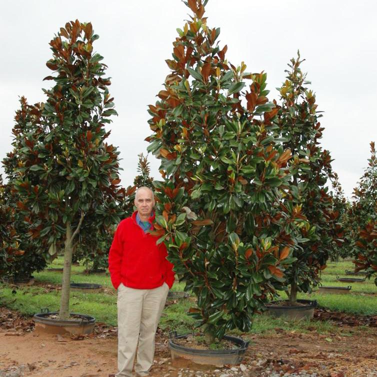 Magnolia Grandiflora 'D.D. Blanchard' (D.D. Blanchard Magnolia)