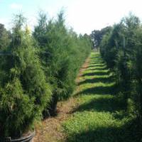 Juniperus Virginiana (Eastern Redcedar)