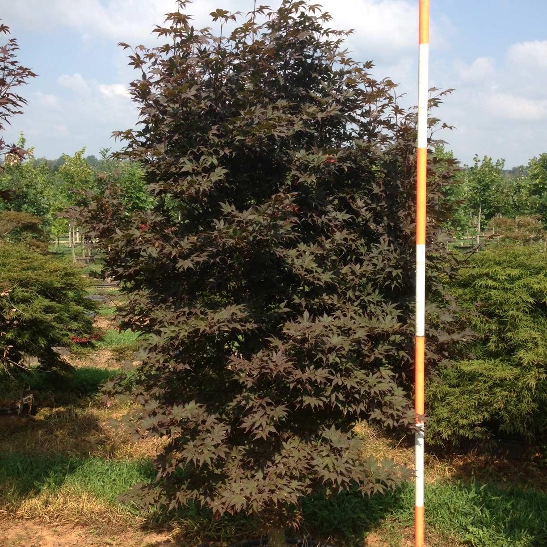 Acer Palmatum 'Emperor I' (Emperor One Japanese Maple)