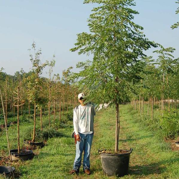 Gymnocladus Dioicus 'Espresso-JFS' (Espresso Kentucky Coffee Tree)