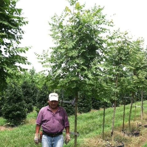 Koelreuteria Paniculata (Golden Raintree)