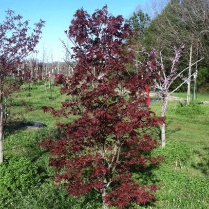 Acer Palmatum 'Moonfire' (Moonfire Japanese Maple)