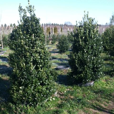 Ilex X 'Oak Leaf' (PP 9487) (Oak Leaf Red Holly)