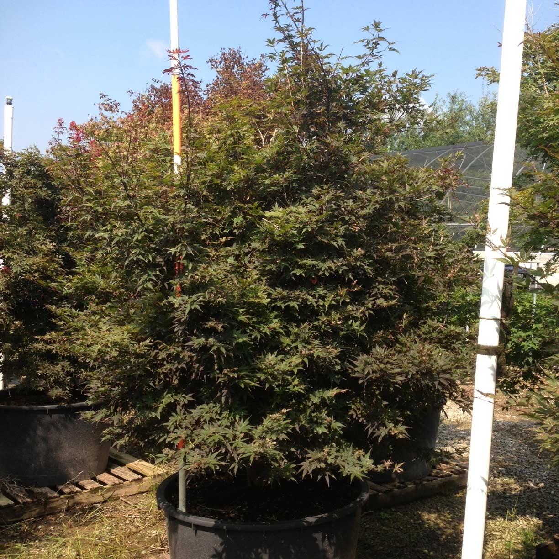 Acer Palmatum 'Skeeter's Broom' (Skeeter's Broom Japanese Maple)