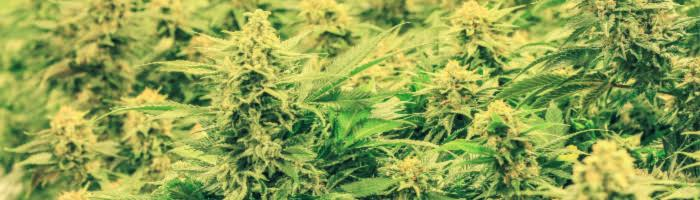 Legal Marijuana Will Affect Workers' Comp Cases in PA