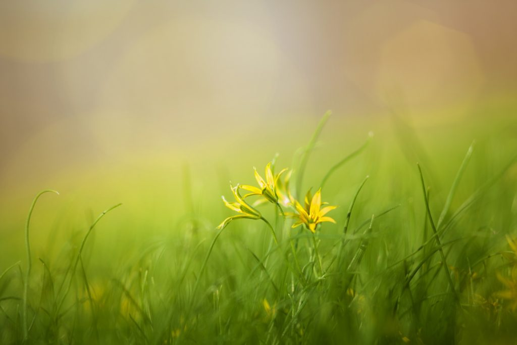 Picture of small yellow flowers nestled in grass