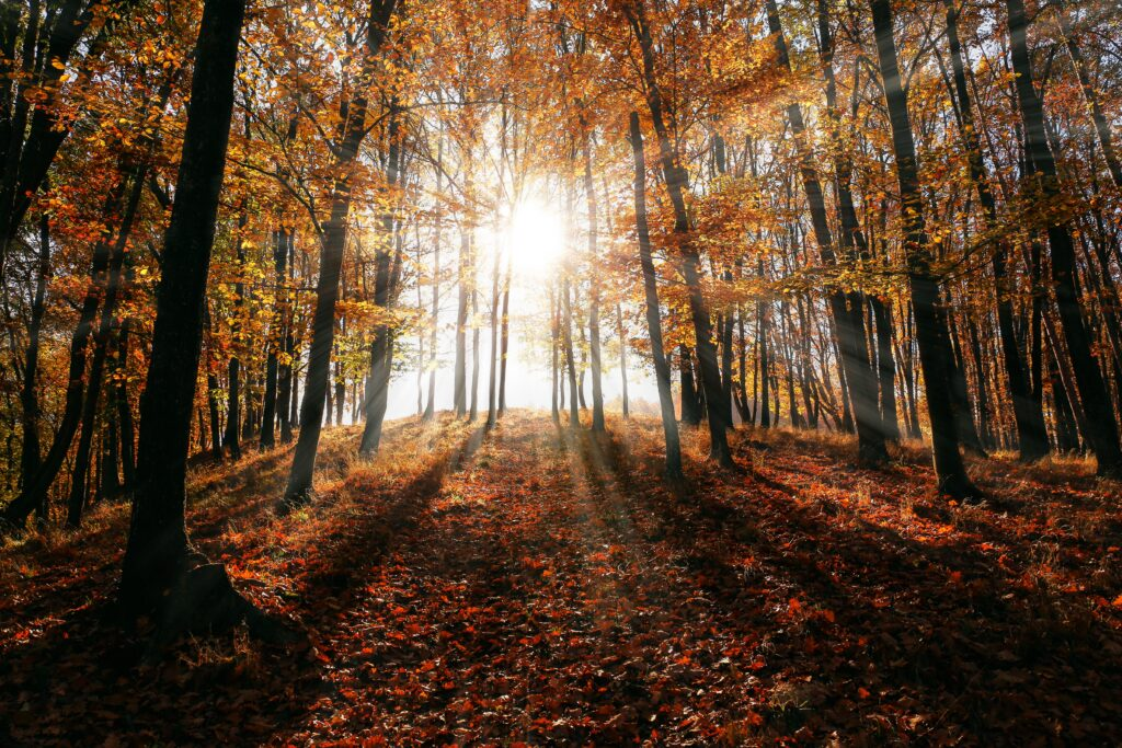Picture of sunlight shining through an autumn forest