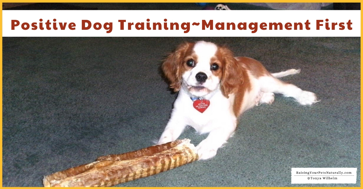 How to training a Cavalier King Charles Spaniel puppy