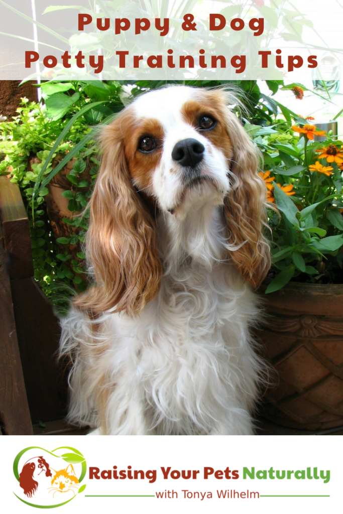 House-training a puppy and dog potty training tips. Read more on house training a puppy or dog. #raisingyourpetsnaturally #housetrainingapuppy #housetrainingadog #dogpottytraining #housebreakingapuppy