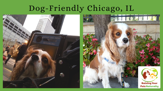Dog-Friendly Vacations: Dog-Friendly Chicago, Illinois. Don't miss out on all the fun dog-friendly activities Chicago has to offer. Click to join the fun. #raisingyourpetsnaturally
