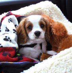 Dog Carsickness