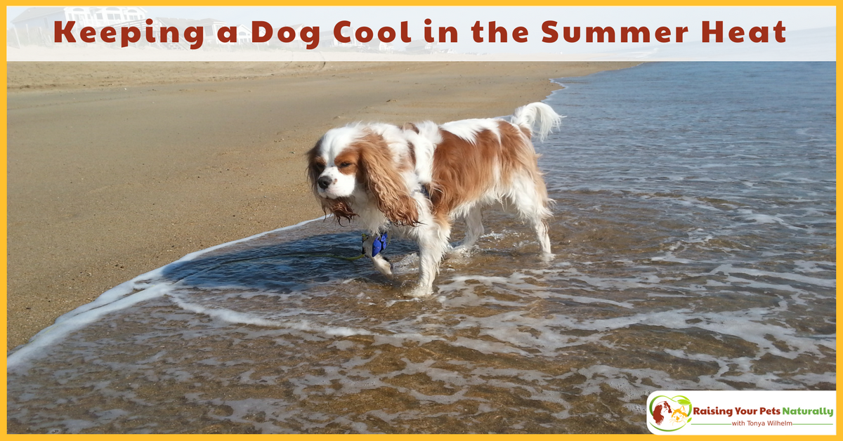 Learn how to keep a dog cool and safe during the summer heat. Summer safety tips for dogs and avoiding dog heat stroke. #raisingyourpetsnaturally