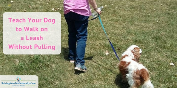 Learn how to teach your dog to walk politely on a leash without pulling and without pain. #raisingyourpetsnaturally