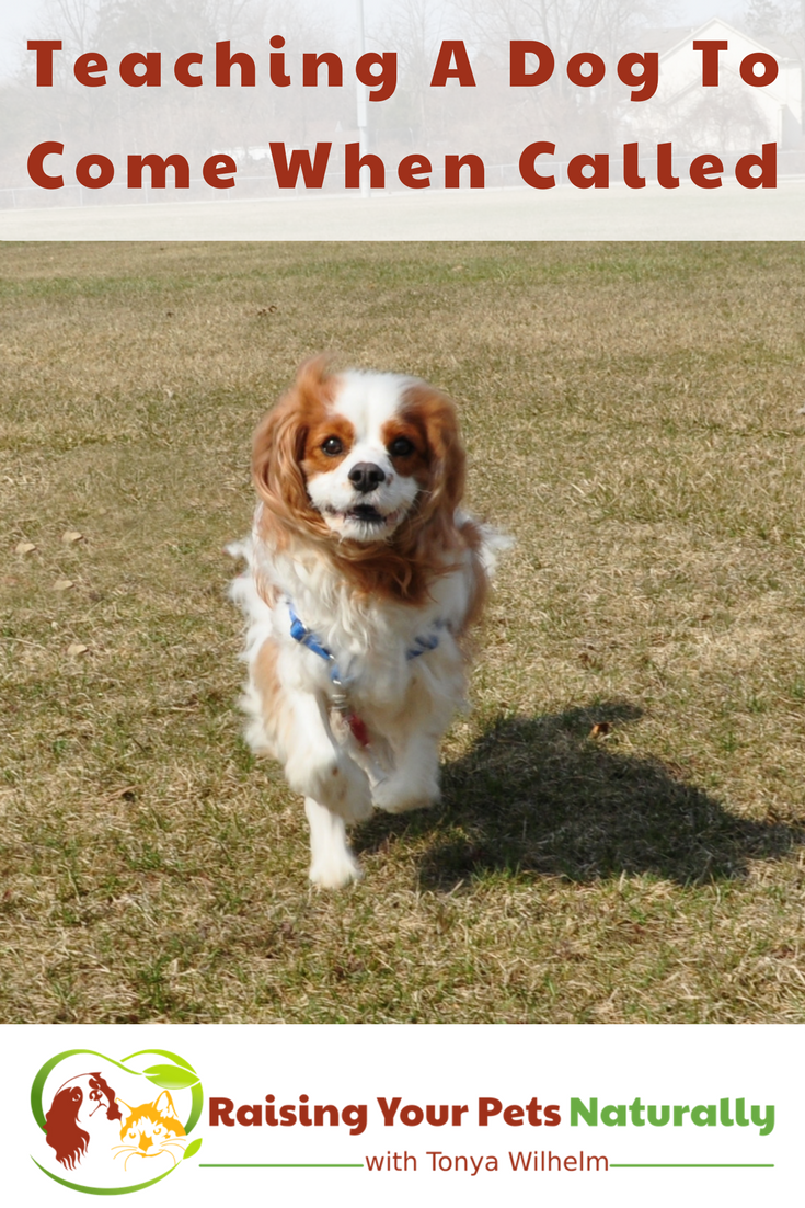 How to train a dog or puppy to come when called. Learn how to train your dog to come when called today. #raisingyourpetsnaturally #dogtraining #comewhencalled #positivedogtraining