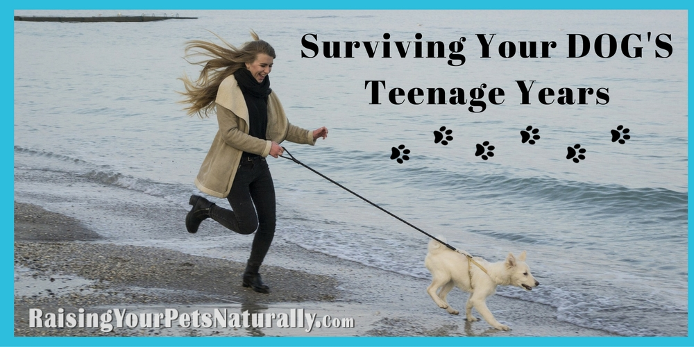 Successful Dog Training During the Teenage Years. Dog behavior training during a dog's adolescent period can be a challenge. Read my best dog training tips today. #raisingyourpetsnaturally