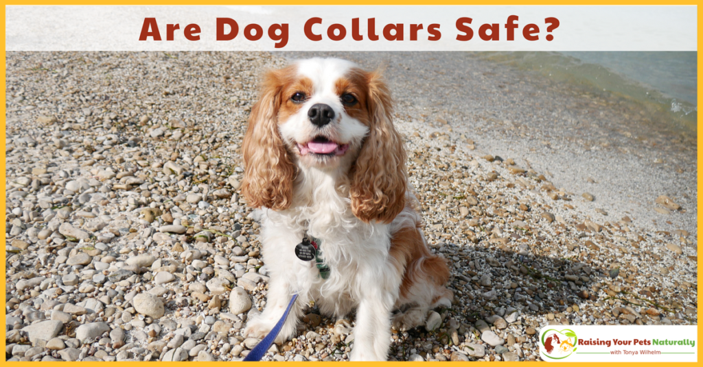 Have you ever wondered if walking your dog on a dog collar was safe? Even the best behaved dog may randomly hit the end of his leash. Learn the possibly injuries that can occur. #raisingyourpetsnaturally