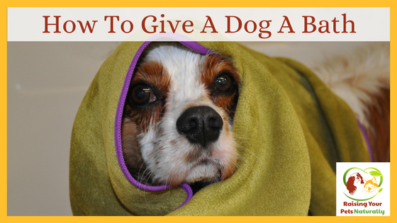 Learn how to give a dog a bath. How often should you give a dog a bath? Click to find out from the pros. #raisingyourpetsnaturally