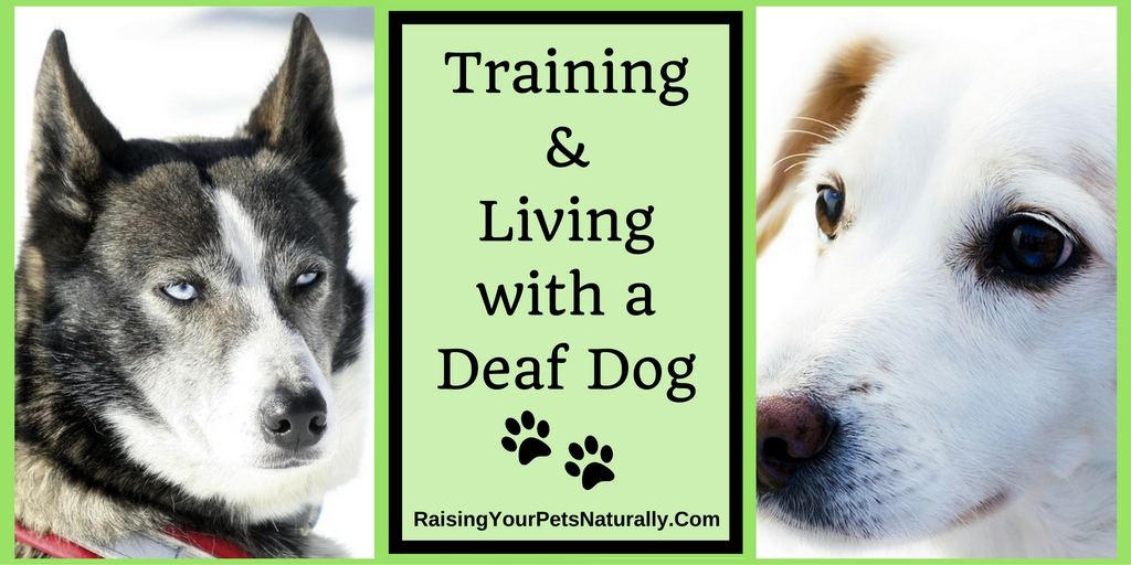 Deaf Dogs and How to Train a Deaf Dog. Training deaf dogs isn't as hard as you may think, #raisingyourpetsnaturally