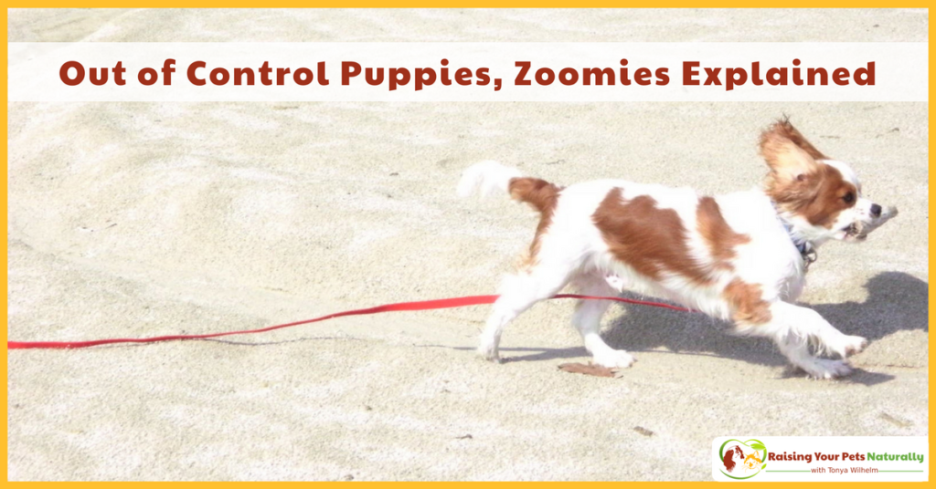 Puppy Training Tips. What are puppy zoomies and why is my puppy running around like a crazy dog? #raisingyourpetsnaturally