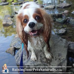 Cavalier Dog Blog