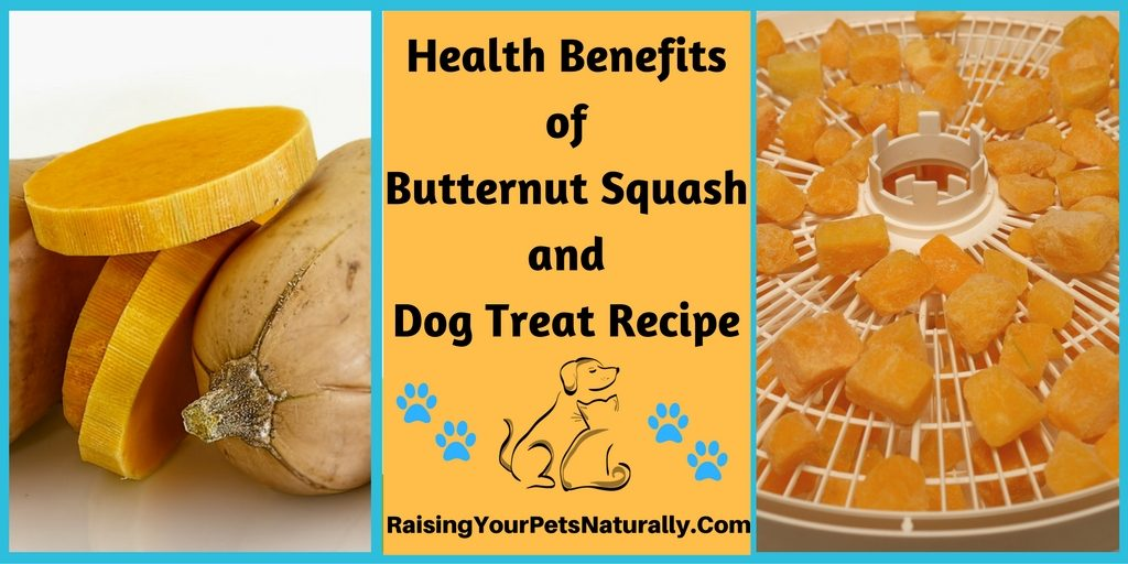 Health benefits of butternut squash for dogs, cats and people. Healthy dog treat recipe too.