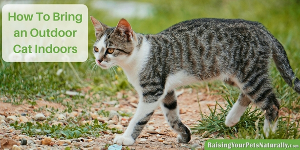 How To Bring an Outdoor Cat Indoors. 6 tips to get you started on transitioning a stray to an inside cat. #raisingyourpetsnaturally