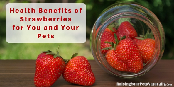 Can Dogs Eat Strawberries? Health Benefits of Strawberries for dogs, cats and people. Strawberries have many health benefits for your pets and yourself.  #raisingyourpetsnaturally