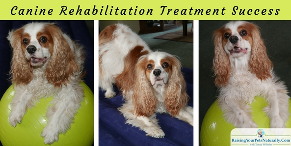 Dog Rehabilitation Exercises for Dog Neurological Conditions: Natural Treatments for Chiari malformation (CM) and syringomyelia (SM). I reached out to one of Dexter's holistic veterinarians, Dr. Mary L. Cardeccia. Dr. Cardeccia focuses on animal rehabilitation and natural healing methods including acupuncture, food therapy, chiropractic, Reiki, and herbology. We both agreed that there were more natural rehabilitation exercises and work I could be doing with Dexter to improve his conscious proprioception and to hopefully help decrease his head bobbing and wobbles (back end weakness).