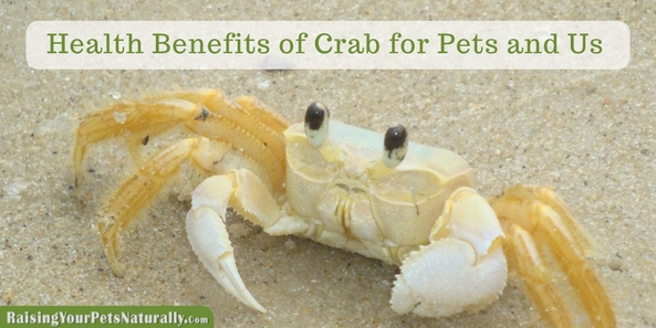 Can dogs and cats eat crab? Learn some of the health benefits of crab meat for your pets and you. Bonus-Crab-cake recipe for dogs! #raisingyourpetsnaturally