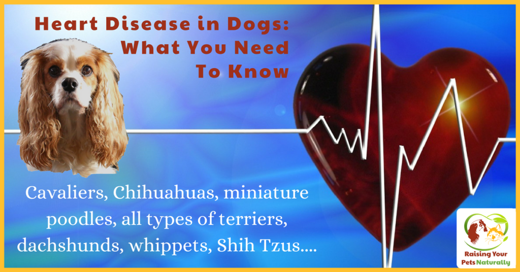 Dog Hear Murmur and Heart Disease in Dogs What You Need To Know. Is your dog prone to congestive heart failure? Learn the facts and how to be proactive in his care. #raisingyourpetsnaturally