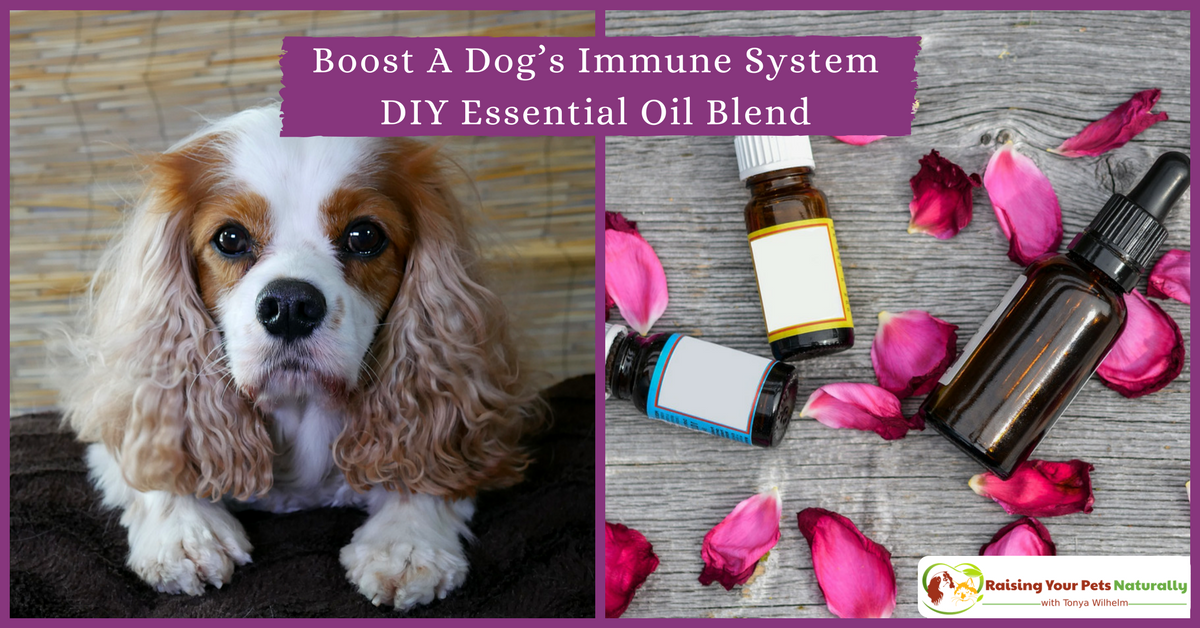 Immune Booster for Dogs! A dog's immune system can sometimes need a little boost. Check out some healthy foods for dogs and this dog essential oil DIY to help boost a dog's immune. #raisingyourpetsnaturally
