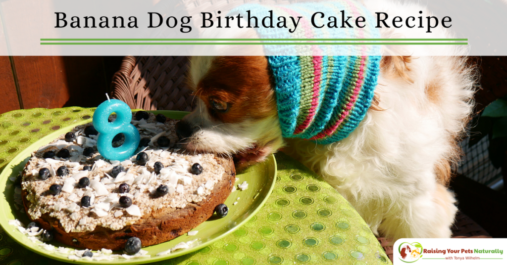 Dog-Friendly Banana, Blueberry and Coconut Dog Birthday Cake Recipe. Learn how to make a dog birthday cake that his healthy and tasty. #raisingyourpetsnaturally