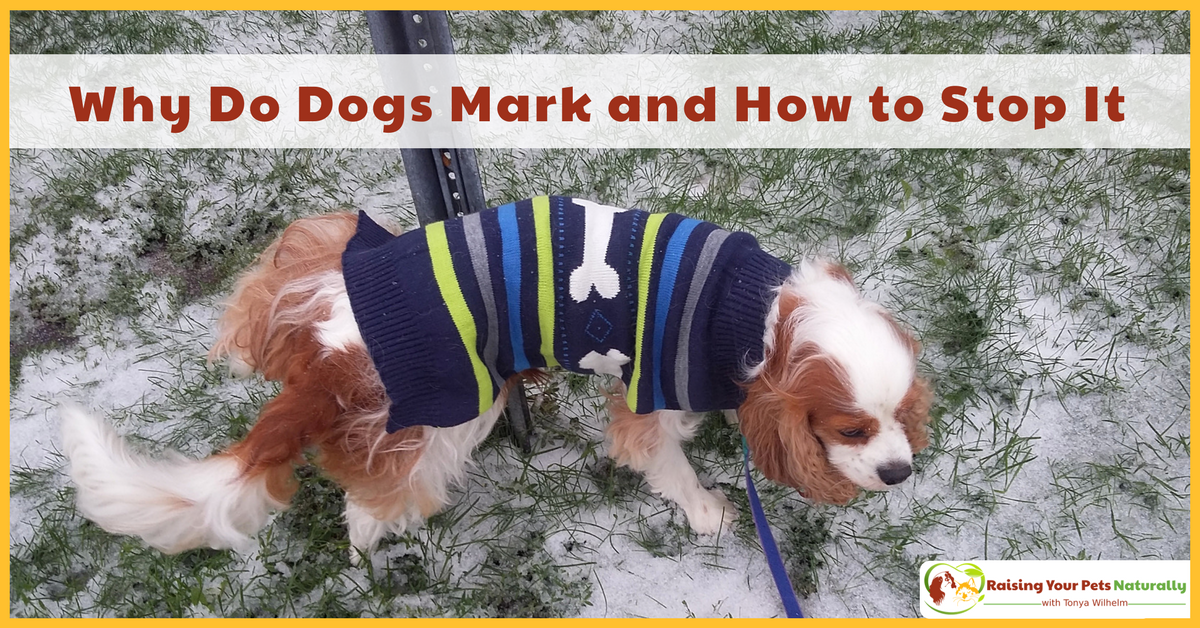 How to stop a dog from marking the house. Learn why dogs mark and what you can do to manage the behavior. #raisingyourpetsnaturally