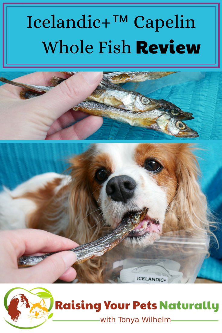 Icelandic+ Whole Fish Dog Treats are not only healthy, but can be used to supplement the omega-3 fats in your dog's diet! Learn more by clicking through. #sponsored #raisingyourpetsnaturally #dogtreats #holisticdogtreats #fishtreats