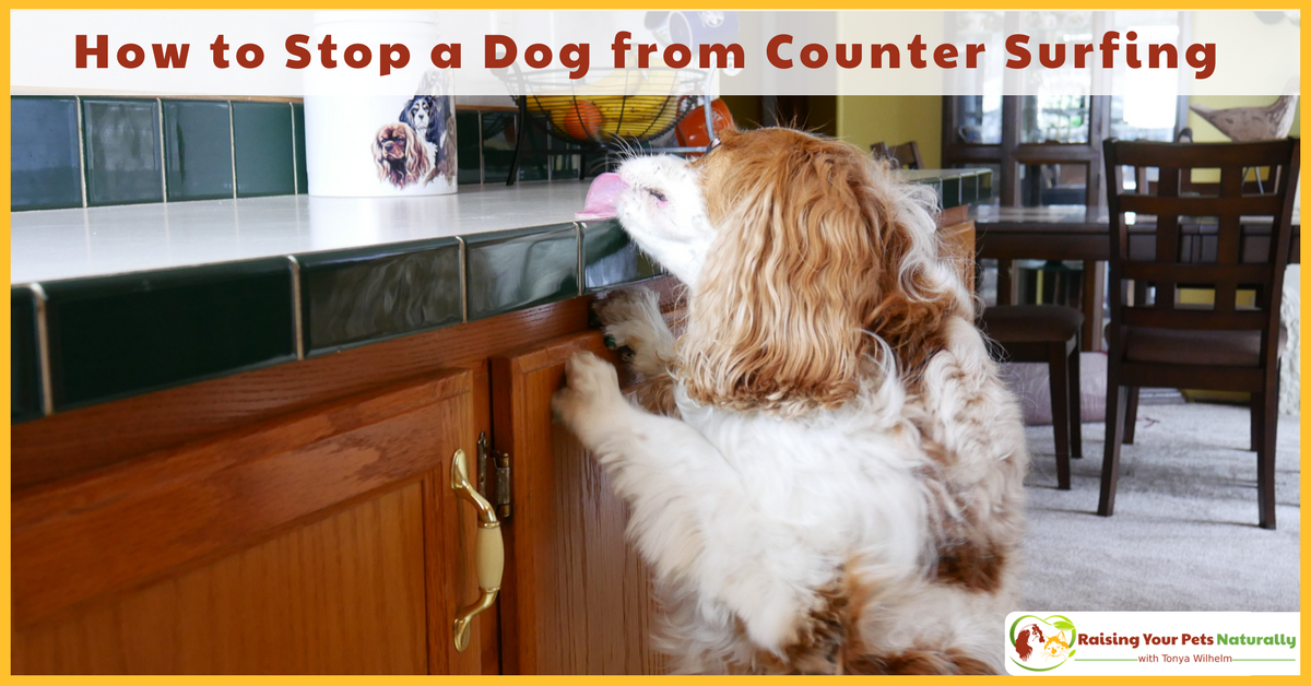 Dog Training Tips | How to Stop a Dog From Counter Surfing. Do you have a counter surfing dog? Here are some tips on how to stop the surf! #raisingyourpetsnaturally