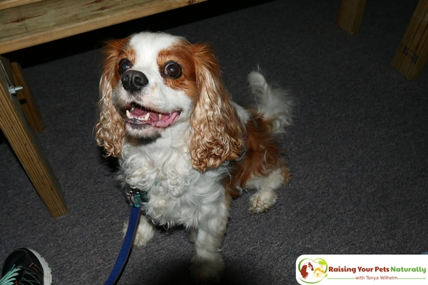 Dog-Friendly Indiana Attractions. If you are looking for a fun day-trip with your dog, check out the Mid-America Windmill Museum in Kendallville, Indiana. #raisingyourpetsnaturally