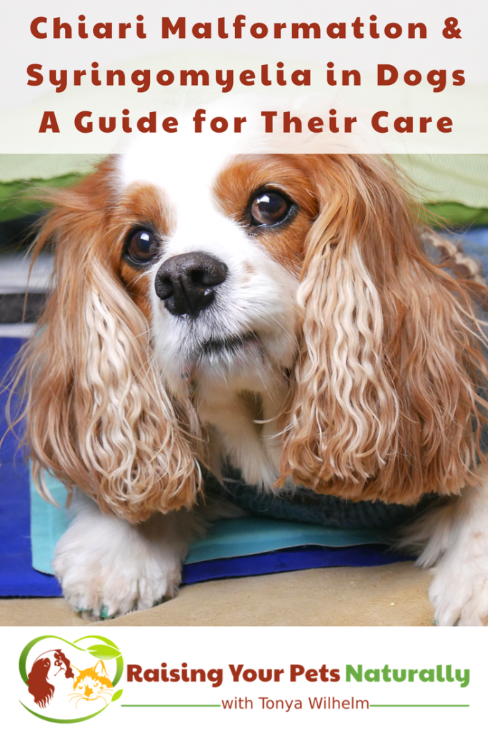Chiari Malformation and Syringomyelia in Dogs. A Guide for Their Care and Treatment. #raisingyourpetsnaturally #cm #sm #cavaliers #ckcs #chiarimalformation #syringomyelia