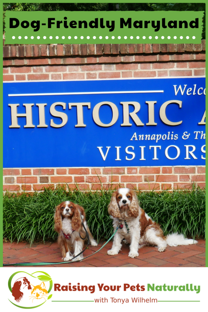 Dog-Friendly Vacations in Maryland. If you are traveling with dogs, you won't want to miss these Dog-Friendly Maryland attractions, hotels and destinations. #raisingyourpetsnaturally #dogfriendly #dogfriendlymaryland #travelingwithdogs