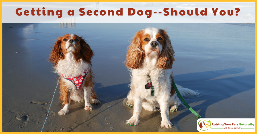 Getting a second dog. Should you? Here are some things to consider when adding or adopting a second dog. #raisingyourpetsnaturally