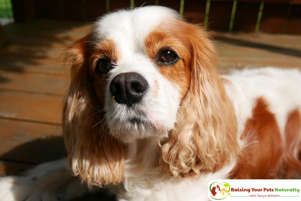 Natural Dog Shampoo Review: USDA Certified Organic Dog Shampoo with Peppermint and Tea Tree Oil by 4-Legger. #raisingyourpetsnaturally #dogshampoo #bestdogshampoo #naturaldogshampoo #organicdogshampoo
