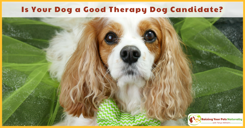 Therapy Dogs and Therapy Dog Training. Is Your Dog a Good Therapy Dog Candidate? #raisingyourpetsnaturally