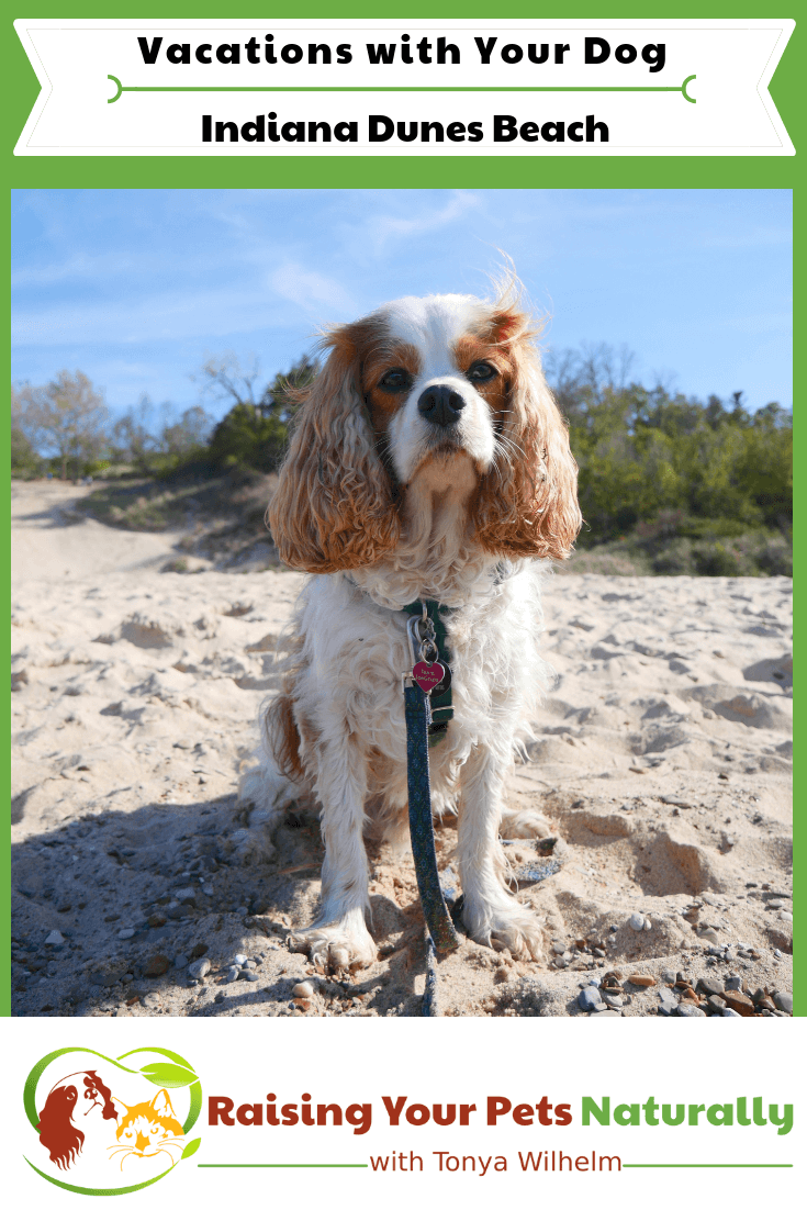 Dog-Friendly Indiana Dunes Beaches. Check out Dexter's dog-friendly road trip to the Indian Dunes. A must do for the dog-lover. #raisingyourpetsnaturally #indianadunes #beachesandbeyond #dogfriendly #dogfriendlyindiana #midwestvacations #dogfriendlyvacations #dogfriendlyroadtrips