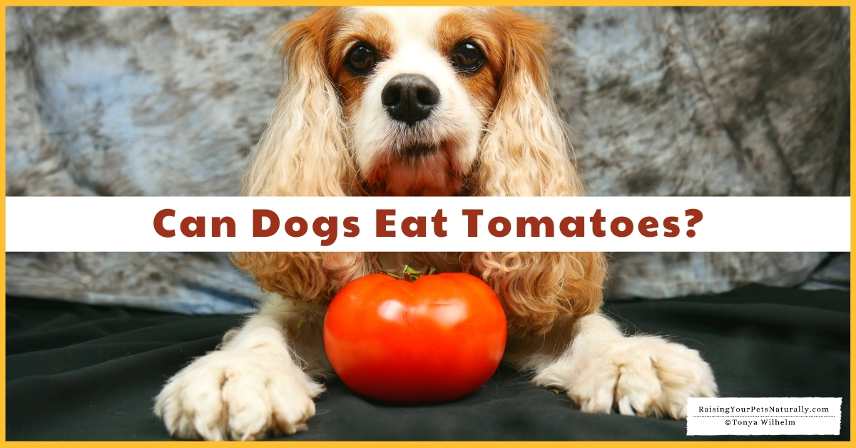 Is it safe for a puppy to eat a tomato
