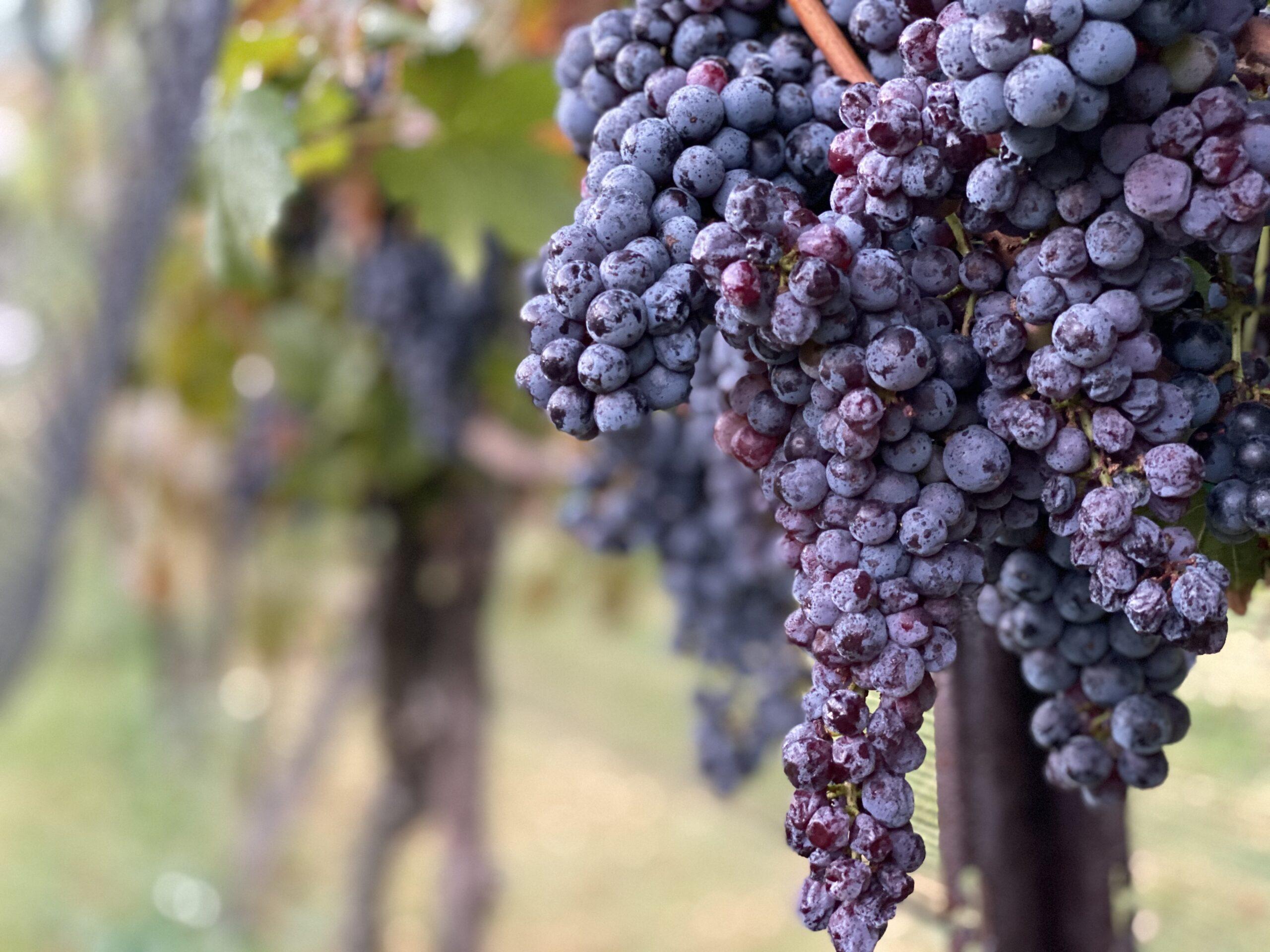 stonewall creek vineyards, fine georgia wine