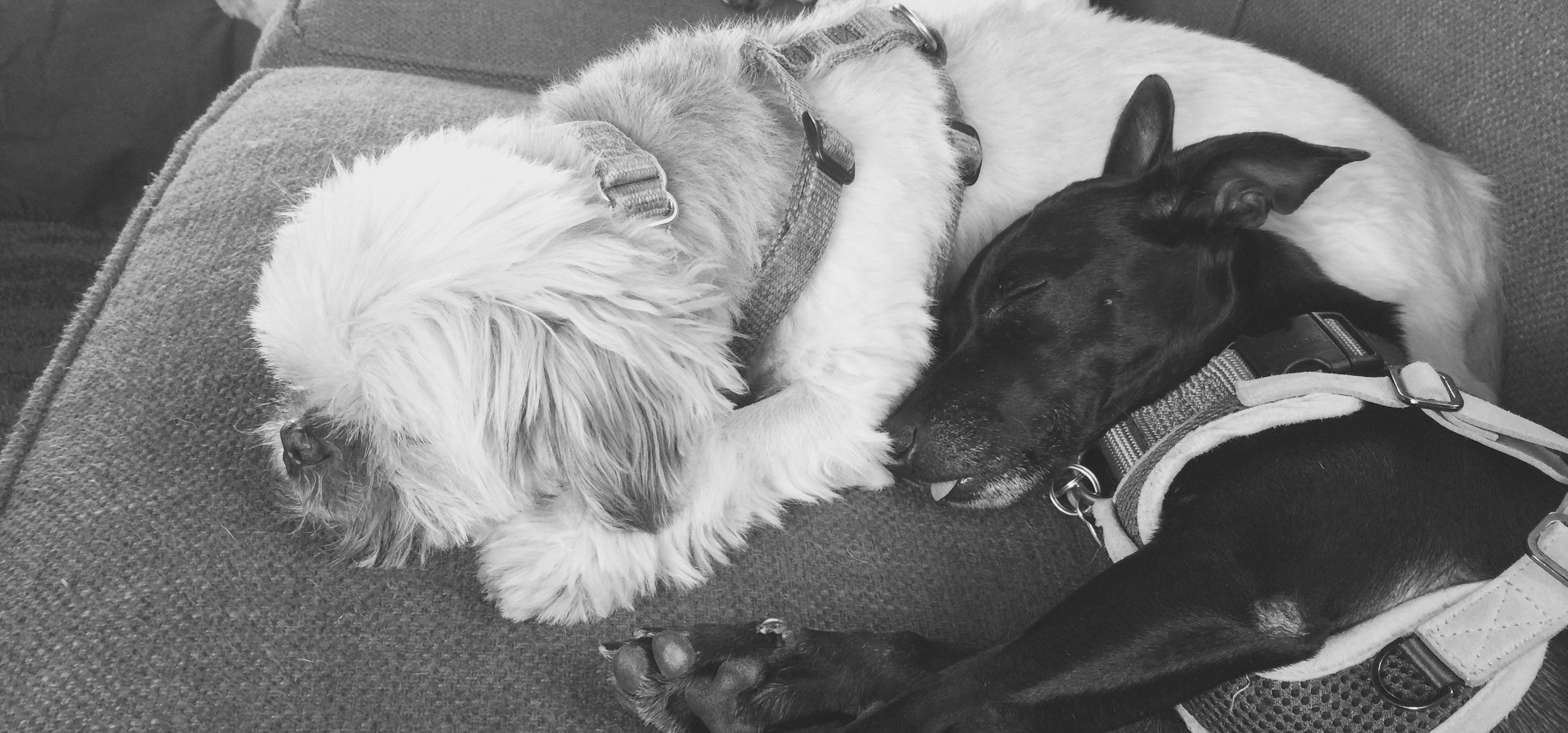 Sleeping shih tzu and chihuahua