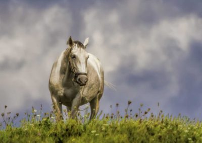 Lipizzaner horse stands in white clover field with blue sky & clouds - Fetching Foto Photography