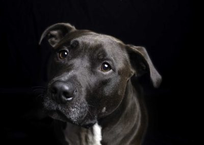 Pit Bull in studio with black backdrop and dramatic light - Fetching Foto Photography