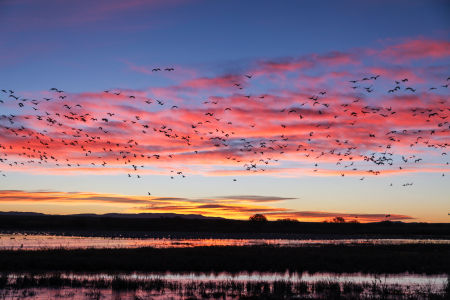 Snow Geese Flying Silhouetted at Sunrise