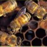honey-bees1-150x150